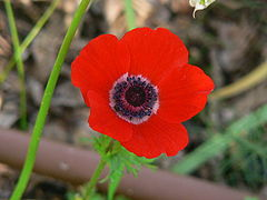 Scarlet-Anemone
