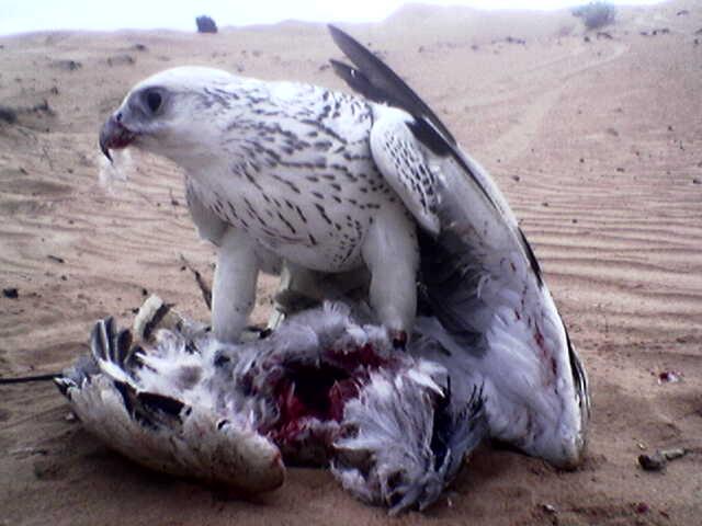 Falcon-houbara