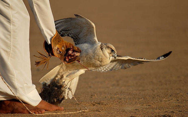 Mideast-Falconry